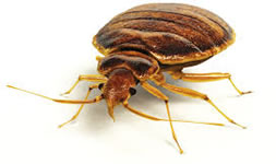 DRE pest control bedbugs Cambridge