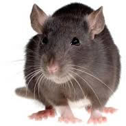 DRE pest control rats Cambridge