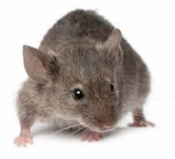 DRE pest control mice Cambridge