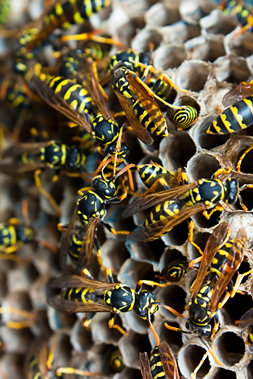 Pest Control Wasps Cambridge